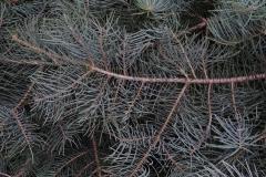 jodła kalifornijska abies concolor 1