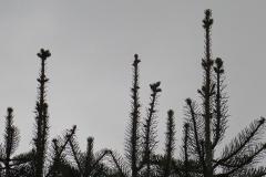 jodła kalifornijska abies concolor 3